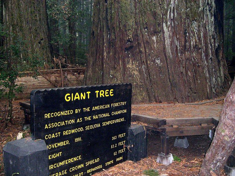 Giant_Tree_Humboldt_Redwoods_State_Park800.jpg